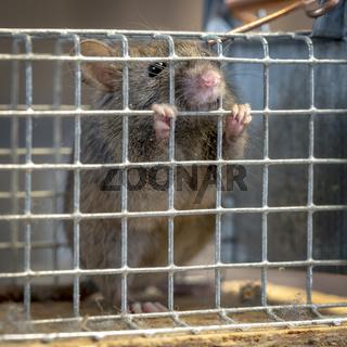 Kleine Maus sitzt gefangen  in einer Falle aus Draht vor unscharfem Hintergrund