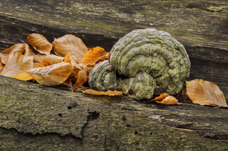 Pilzmotiv im Darsswald