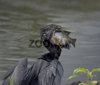 Anhinga swallows a large Fish