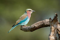 Lilac-breasted roller in profile on dead branch