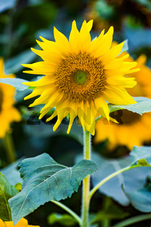 Colorful Sunflowers