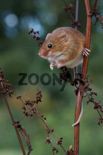 Ernte Maus (Micromys minutus)