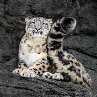 Snow Leopard Tail