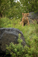 Lion cub sits between rocks in bushes