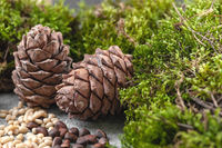 Two pine cones, nuts and natural moss on a gray concrete background. Background image.