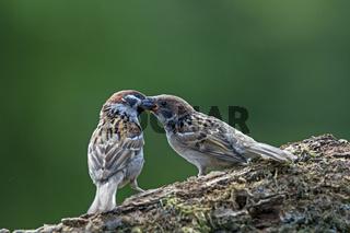 Feldsperling füttert Jungvogel / Passer montanus