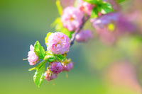 Beautiful flowering plum blossoms