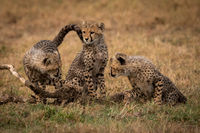 Cheetah cubs watch each other beside sibling