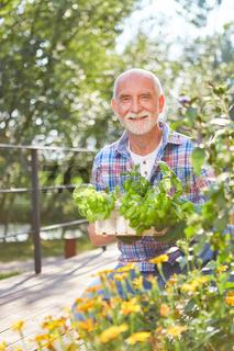 Glücklicher Senior mit Basilikum im Kräutergarten