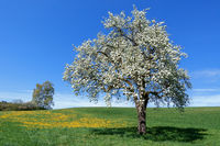 Üppig blühender Birnbaum in einer Wiese mit Löwenzahn