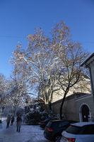 Platanus acerifolia, Platane, Plane tree