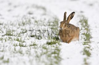 nasse Kälte... Feldhase * Lepus europaeus * hockt auf einem Feld im Schnee