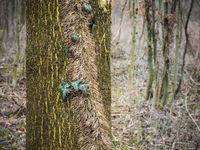 Baumstamm mit Efeu im Wald