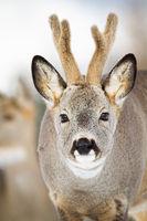 Portrait of roe deer buck facing camera in wintertime