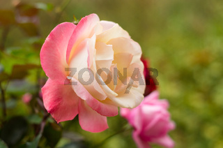 Still life on the background of a beautiful rose. Rose on a green background, in a garden with many roses.