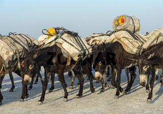 Esel transportieren Salzblöcke, Assale Salzsee, Danakil Depression, Afar Region, Äthiopien