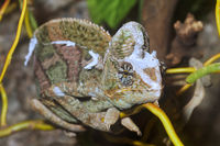 Portrait of the veiled chameleon (Chamaeleo calyptratus)