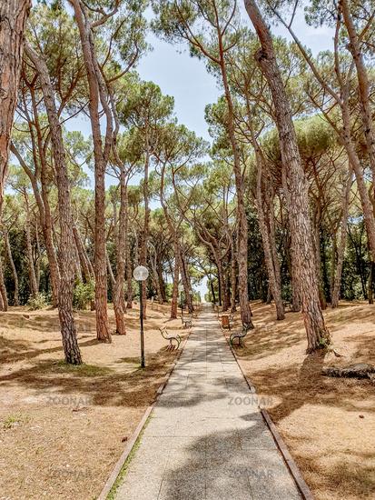 Coniferous park in summer