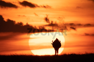 Blue wildebeest on horizon silhouetted against sun
