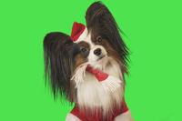Beautiful dog Papillon in Santa Claus costume on green background