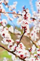 Weiße Apfelblüten vor blauem Himmel