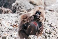 endemic Gelada in Simien mountain, Ethiopia