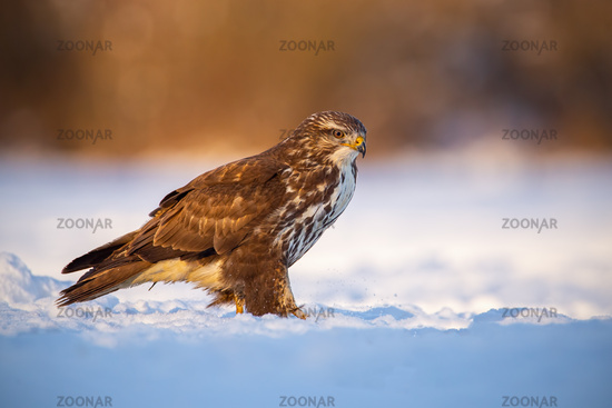 Common buzzard, buteo buteo, in winter on a snow at sunset