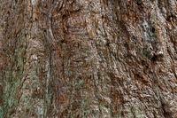 Rinde eines 150 Jahre alten Mammutbaums