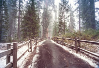 Sequoia forest in winter season