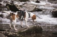 Beagle mit Gebirgsbach