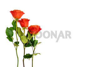 Gift card for the holiday. Red roses on a white background. Concept of holiday, anniversary, wedding day or birthday. Copy space. Isolated object