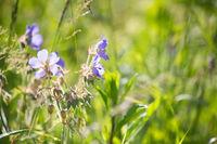 flowering grasses, blooming meadows
