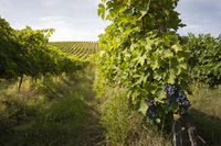 Vineyards with red grape for wine making. Big italian vineyard rows.