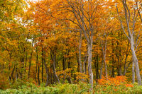 Beautiful forest of colorful foliage of autumn season