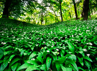 Wild garlic forest