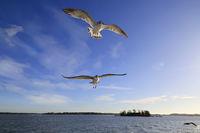 Seagulls Against Blue Sky