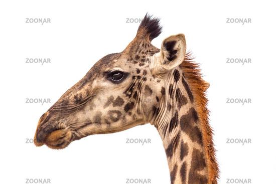 A portraite of giraffe on the savanna in Tanzania