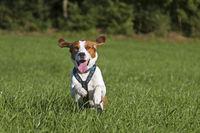 Laufender Beagle