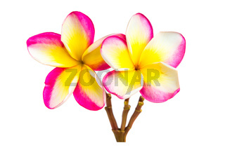 Frangipani flowers isolated at white background