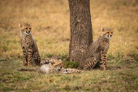 Cheetah cubs sitting and lying by tree