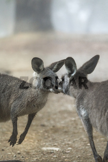 Kissing kangaroos
