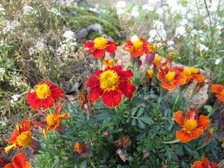 Gewürztagetes, Tagetes tenuifolim, mit Blüten in Rot und Gelb