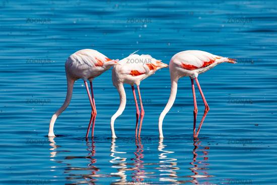 Rosy Flamingo colony in Walvis Bay Namibia