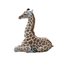 Young Giraffe resting on white background