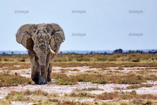 Elefant, Etosha-Nationalpark, Namibia, (Loxodonta africana)   elephant, Etosha National Park, Namibia, (Loxodonta africana)
