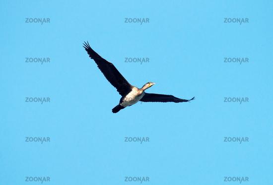 Single flying large cormorant. Whitish bottom of body