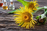 Fresh Inula helenium flowers with essential oils