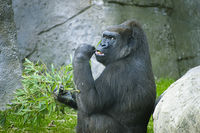 Mother, huge and powerful gorilla, natural environment, huge gorilla eating plants quietly