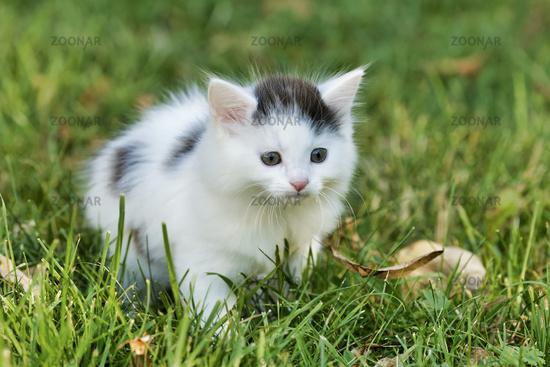 Little white kitten playing on the green grass