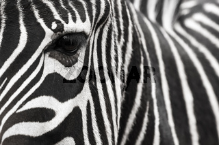 A zebra face with eye up close. Makes a nice background.